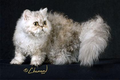 British cat malaysia