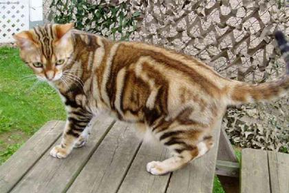 Buy bengal cat malaysia