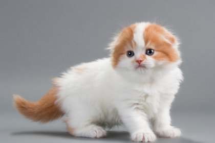 Munchkin Cat Breeders Malaysia – 1001 Funny Cat Pictures
