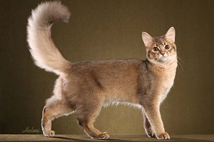Abyssinian Cat Price Malaysia
